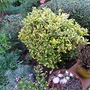 December border (Euonymus fortunei 'Emerald n Gold')