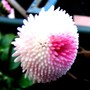 Another bellis last March. (Bellis perennis (Common Daisy))
