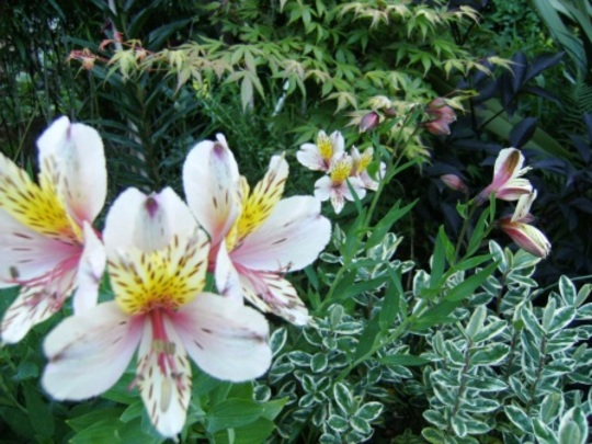 Lillies, Acer and Hebe.