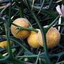 Poncirus trifoliata (Poncirus trifoliata)