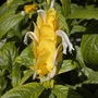 Pachystachys lutea - Golden Candles (Pachystachys lutea - Golden Candles)