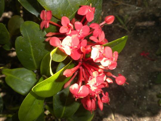 Ixora coccinea 'Maui Red'  (Ixora coccinea 'Maui Red')