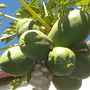 Papaya carica &#x27;Maradol&#x27; - Maradol Papaya (Papaya carica &#x27;Maradol&#x27; - Maradol Papaya)