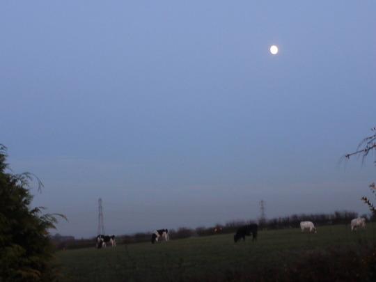 Mooooooo  n Cows