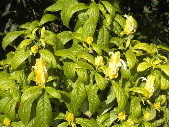 Pachystachys lutea - Golden Candles (Pachystachys lutea - Golden Candles)
