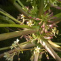 Carica papaya &#x27;Maradol&#x27; - Male Papaya Flowering (Carica papaya &#x27;Maradol&#x27; - Male Papaya)