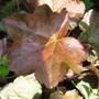Heuchera cylindrica