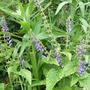 Scutellaria_altissima