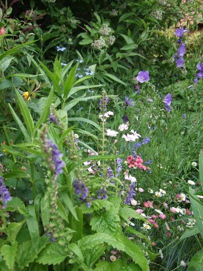 Scutellaria altissima in the border. (Scutellaria altissima)