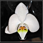 Better_orchid_right_way_up