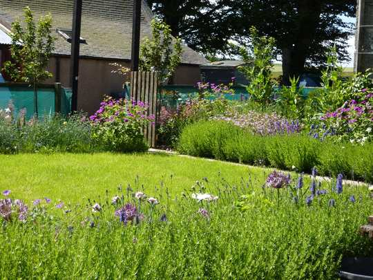 Steading garden (Nepeta nervosa Blue Moon)