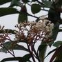 Photinia 'Red Robin' Flowers