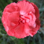 Red_dianthus