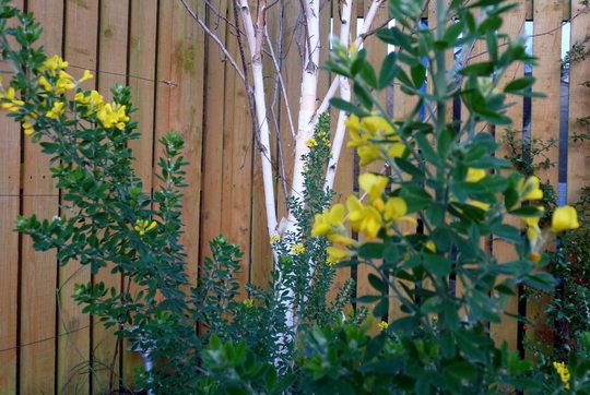 Betula Utilis Jacquemontii with Evergreen Canary Broom (Betula Utilis 'Jacquemontii')