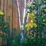 Betula Utilis Jacquemontii with Evergreen Canary Broom (Betula Jacquemontii)