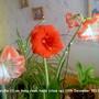 3 Amaryllis on living room table 12-12-2011 (Amaryllis)