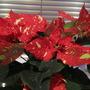 Poinsettia (Euphorbia pulcherrima (Poinsettia))