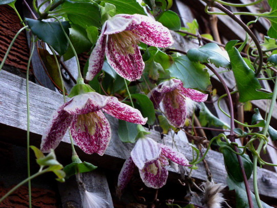Clematis  ' Freckles '    still in flower today  (cirrhosa (Clematis))