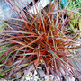 uncinia rubra everflame grass  (uncinia rubra everflame)