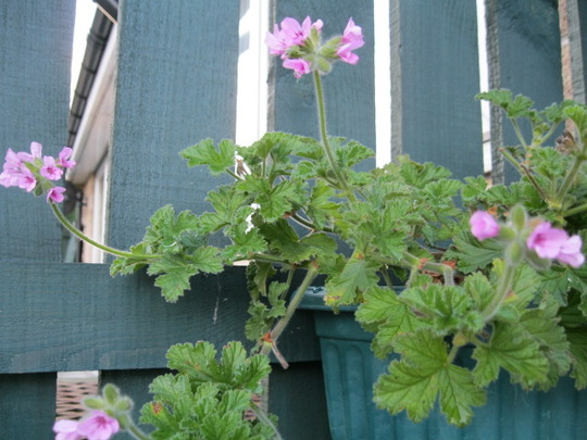 Scented  leaf Geranium..taken 16/12/2011