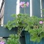 Scented  leaf Geranium..taken 16/12/2011