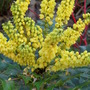 Close up Mahonia Flowers