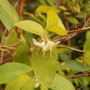 Honeysuckle lemon scented (Lonicera fragrantissima (Shrubby honeysuckle))