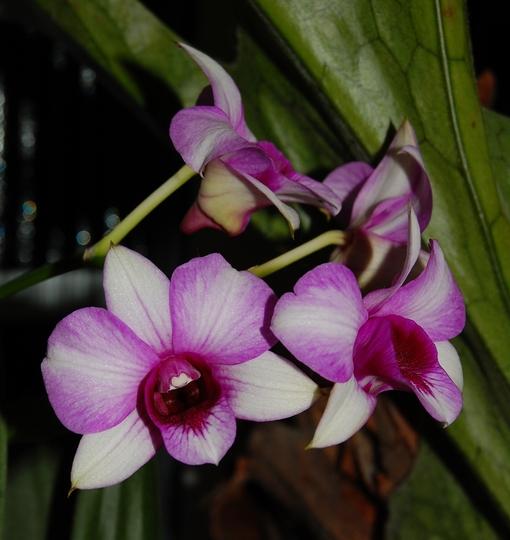 Dendrobium noid (Dendrobium)