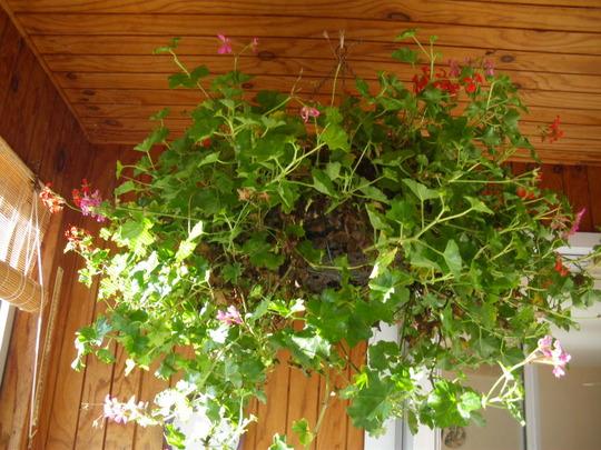 Trailing Geranium Baskets