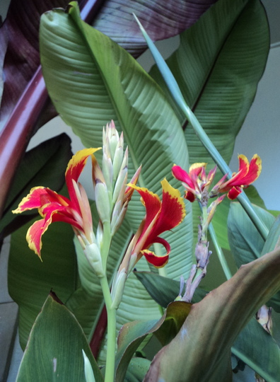 Canna 'Queen Charlotte' in the conservatory (Canna indica (Indian shot plant))