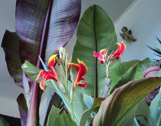 Canna 'Queen Charlotte' in the conservatory - 2 (Canna indica (Indian shot plant))