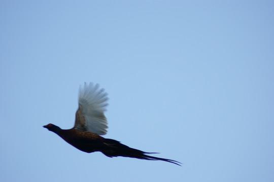 Pheasant flight