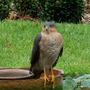 Sparrow_hawk_2