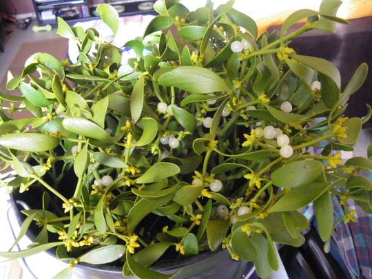 'Mistletoe' -