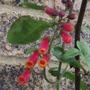 red/orange glory vine in front garden (Eccremocarpus scaber (Chilean glory flower))
