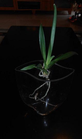 Vanda Orchid - Tokyo Blue
