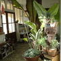 Conservatory without Lucy (Agave filifera)