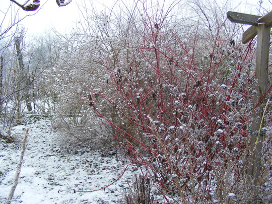 We've had a sprinkling of snow so now the garden looks seasonal.  (Cornus Sibirica)