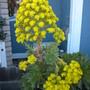 Aeonium arboreum -  Tree Aeonium  (Aeonium arboreum -  Tree Aeonium)