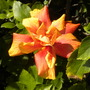 Hibiscus rosa-sinensis Double Orange (Hibiscus rosa-sinensis Double Orange)