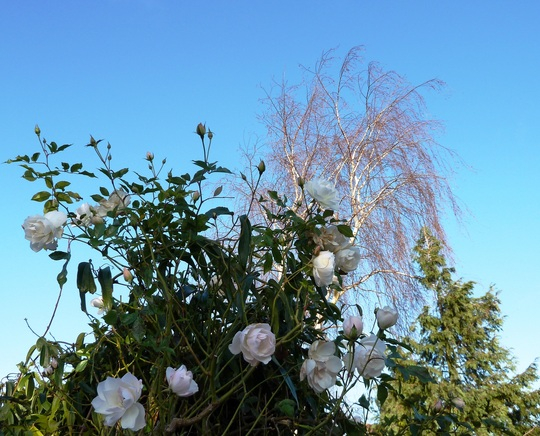 ICEBERG CLIMBING ROSE ~ in the morning sunshine on Boxing Day ...