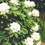 white rhodie (rhododendron)