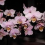 Waitrose_orchid