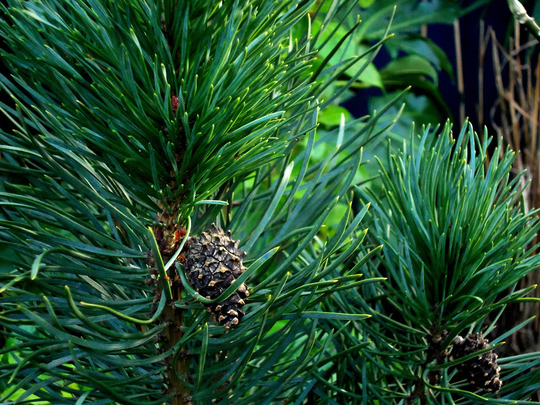 Cones on the conifer