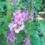 Verbascum summer sorbet (verbascum)