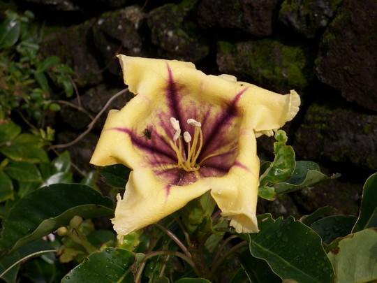 Solandra (solandra maxima)
