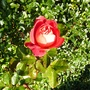 P1030069_rose._end_dec.2011_edit.