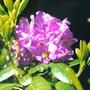 Purple_rhodie