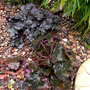 Heucheras in gravel part  (heuchera)