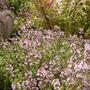 thyme (Thymus vulgaris (Garden thyme))